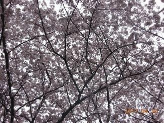 桜2017・4・10.jpg
